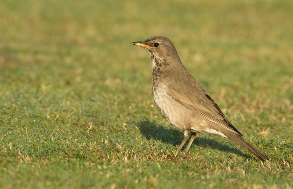 A black-throated thrush seen in Qatar