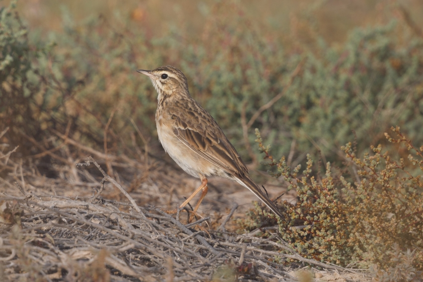 A Richard's Pipit seen in Qatar
