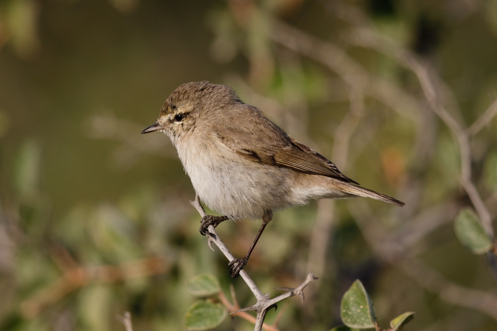 A plain leaf warbler perched in a bush
