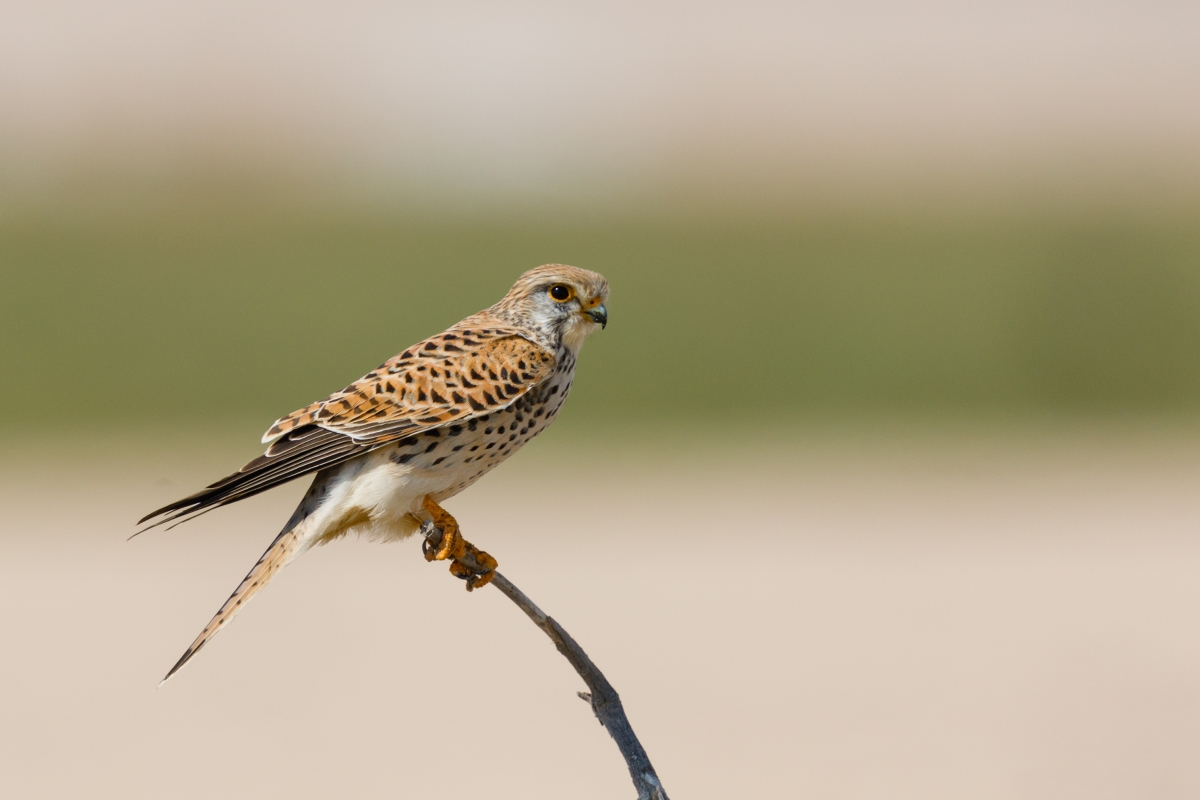 A female common kestrel perching on a stick